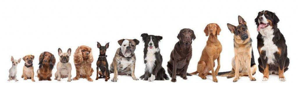 Der findes mange hunderacer at vælge imellem