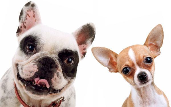Chihuahua og fransk bulldog