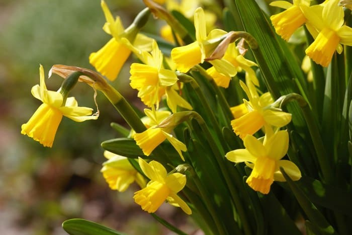 Påskeliljer og andre forårsblomster hører til påsken