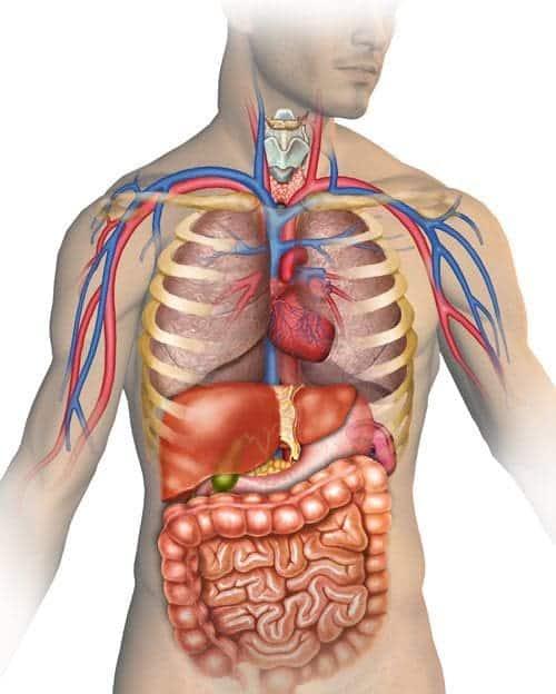 hvor sidder leveren i kroppen